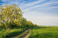 Field road among green wheat and locust. Field road among the green wheat and the blossoming  locust in the evening light Stock Image