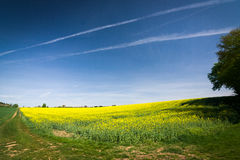 Field road and yellow flowering rapeseed field Royalty Free Stock Photography