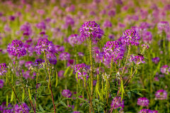 Field of Rocky Mountain Bee Plants. Rocky Mountain Bee Plant wildflowers in large field Stock Images