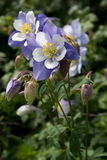 Field with Rocky Mountain blue columbine flowers Stock Images