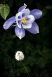 Field with Rocky Mountain blue columbine flowers Royalty Free Stock Image