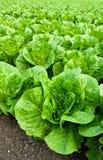 Field of romaine lettuce Stock Images