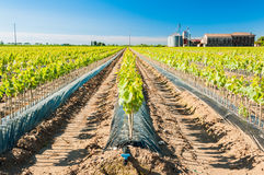 Field of rooted grafts of vine Royalty Free Stock Photo