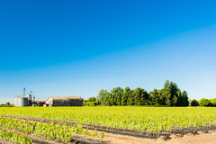 Field of rooted grafts of vine Royalty Free Stock Image