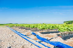 Field of rooted grafts of vine Royalty Free Stock Photography