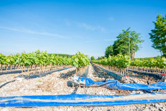 Field of rooted grafts of vine Royalty Free Stock Photos