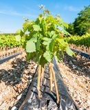 Field of rooted grafts of vine Stock Photography