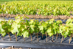 Field of rooted grafts of vine Stock Photo