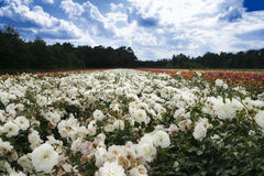 Field of roses Stock Photography