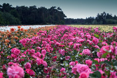 Field of roses royalty free stock image