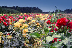Field of roses Royalty Free Stock Photos