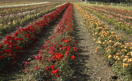 Field of roses Royalty Free Stock Photo