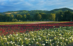 Field of roses, Oregon. Fields of cultivated roses in evening sunlight, Sauvie Island, Oregon Stock Photography