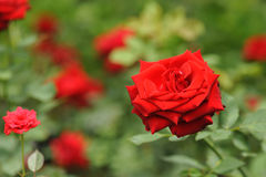 Field of roses (Rosaceae) and blur background Royalty Free Stock Photography