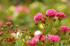 Field of roses (Rosaceae) and blur background Royalty Free Stock Photo