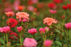 Field of roses (Rosaceae) and blur background Stock Photos