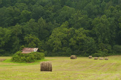 Field of round hay bales near an old barn and green forest. Stock Photo