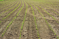 Field of row of green young corn plant Royalty Free Stock Photography