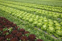 Field with rows of colorful, fully grown lettuce heads. Ready for harvesting. Agriculture industry, fresh produce, mass production and commercial trade concept royalty free stock photos