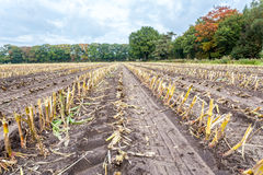 Field with rows of corn stubbles in autumn Royalty Free Stock Photography