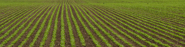 Field with rows of greenery Stock Image