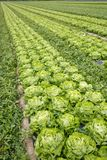 Field with rows of grown lettuce heads. Ready for harvesting. Agriculture industry, fresh produce, mass production and commercial trade concept and textured Royalty Free Stock Photos