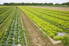 Field with rows of grown lettuce heads. Ready for harvesting. Agriculture industry, fresh produce, mass production and commercial trade concept and textured Royalty Free Stock Photography