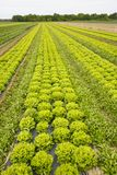 Field with rows of grown lettuce heads. Ready for harvesting. Agriculture industry, fresh produce, mass production and commercial trade concept and textured Stock Images