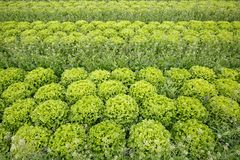 Field with rows of grown lettuce heads. Ready for harvesting. Agriculture industry, fresh produce, mass production and commercial trade concept and textured Stock Photography