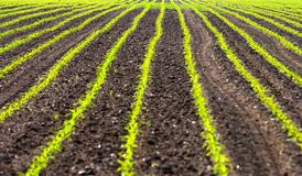 Field with rows of maiz Stock Image