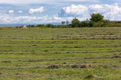 Field With Rows of Mowed Grass Stock Image