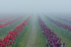 Field rows of red and purple tulips in morning fog and mist Royalty Free Stock Photos