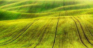 Field. rows of sprouted agricultural crops. picturesque hilly field. agricultural field in spring Royalty Free Stock Image