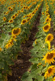 Field with rows of sunflowers. Stock Image