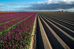Field with rows and tulips. Large view on the field with rows and tulips Stock Photo