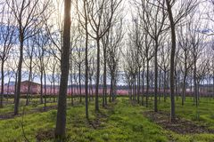 Field with rows of walnut tree in spring at sunrise. Peach tree in bloom with pink flowers on background stock images