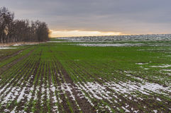 Field with rows of winter crops at autumnal season in Ukraine Stock Image