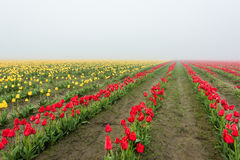 Field of rows of yellow and red tulips during in foggy, misty morning Royalty Free Stock Photography