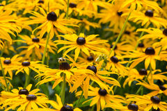 Field of rudbeckia with a bee Stock Image