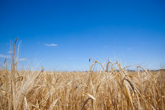 Field with rye Royalty Free Stock Image