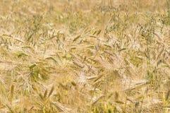 field rye arkivfoton