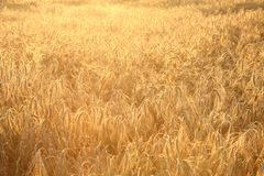 Field of rye Royalty Free Stock Photo