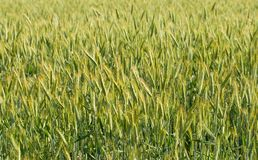 Field of rye Royalty Free Stock Images