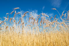 Field of rye Royalty Free Stock Photography