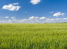 Field of rye Stock Images