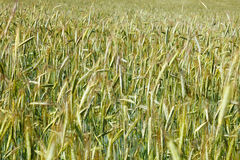 Field of rye Stock Photos