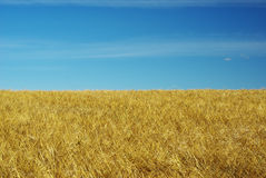 Field of rye Royalty Free Stock Image