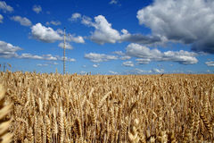 Field of rye. By midsummer and electrics pole stock image