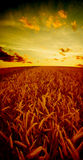 The field of rye. On sunset sky background in dream light royalty free stock image