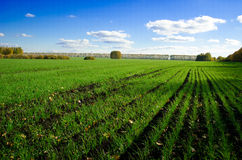 Field of rye in the autumn Royalty Free Stock Image